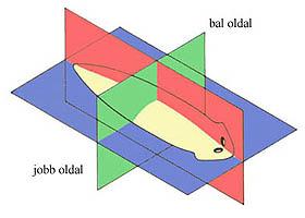 Kétoldali szimmetria egy laposféreg testén