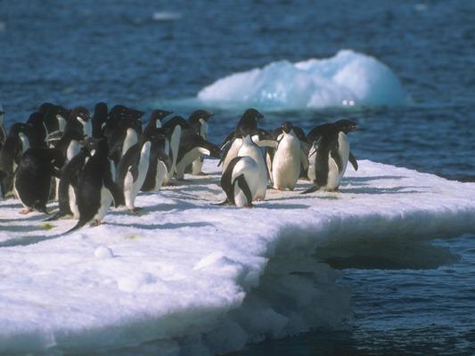 Az Antarktisz madara: a pingvin