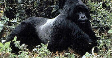 Pigmeusok és gorillák hazája