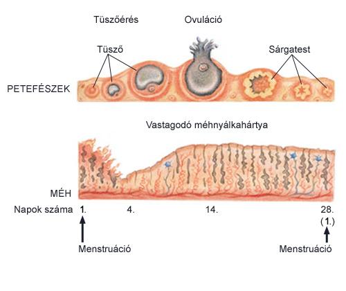 A menstruációs ciklus eseményei