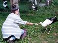 Sérült gólyák