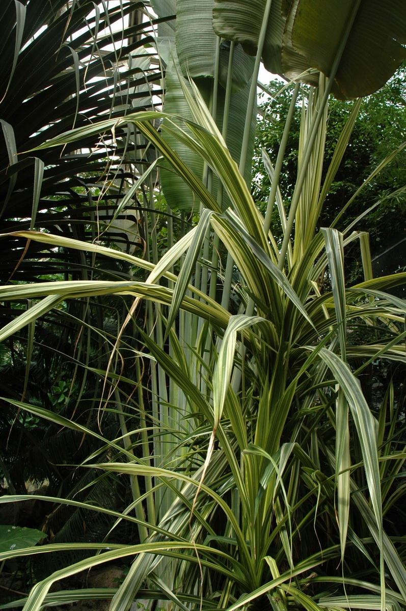 Pandanus Veitchii - A csavarfenyő beltéri termesztése