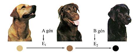 A labrador szőrzetszínének kialakulása