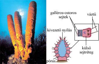 A szivacsok testfelépítése