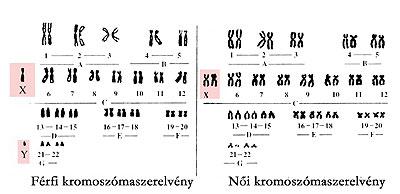 A nők és a férfiak kromoszómaszerelvénye