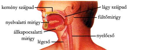 A szájüreg és a nyálmirigyek