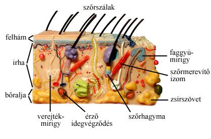 A bőr szerkezete