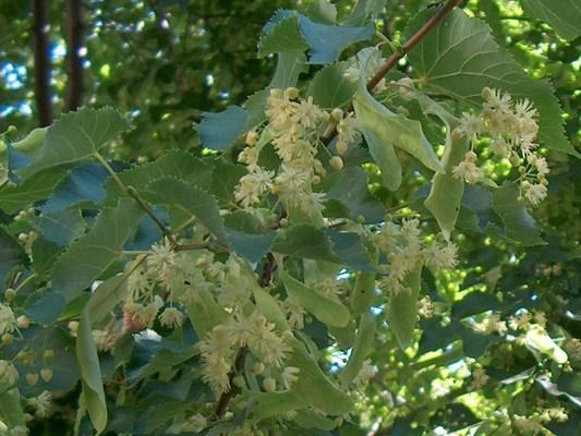 Hársfa termése