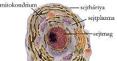 Transzport a sejtekben