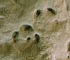 Ősállat lábnyomai az ipolytarnóci lelőhelyen