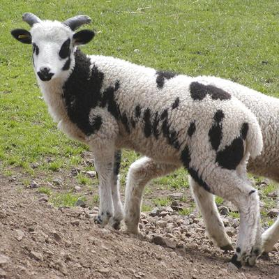 A Cukri bárány