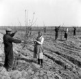 Metszik a gyümölcsfákat az abapusztai állami gazdaságban
