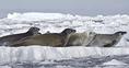 10 kép - sarkvidéki állatok
