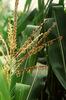 Kukoricacímer