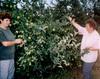 Gyümölcsszüret