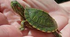Házi kedvencek - A teknős