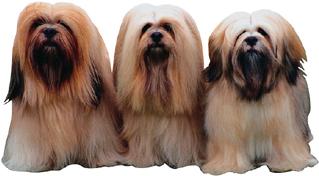 Az egységes megjelenésű kutyafajtákat hosszú időn át végzett beltenyésztéssel alakították ki.