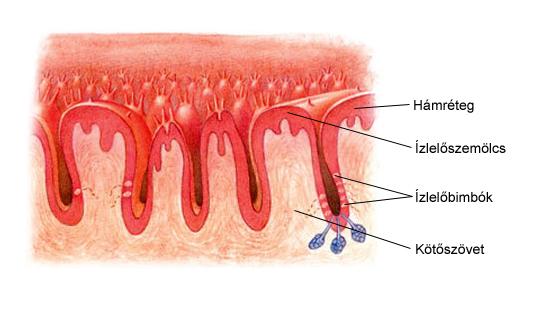 Ízlelőbimbók a nyelv felületén
