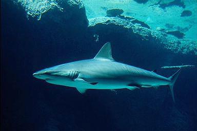 A cápák a nyílt tengerek ragadozói