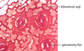 A hajtás bőrszövete