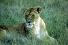 Az oroszlán