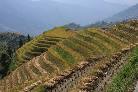 Teraszos rizsművelés