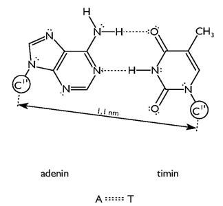 Bázispárok: az adenin és a timin