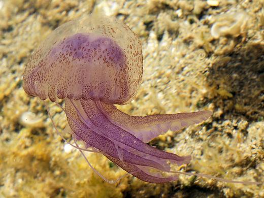Pelagia-noctiluca-világító-medúza