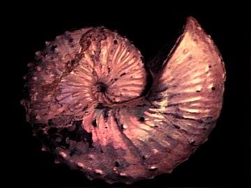 Ammonitesz