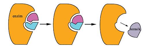 Az enzimek működése