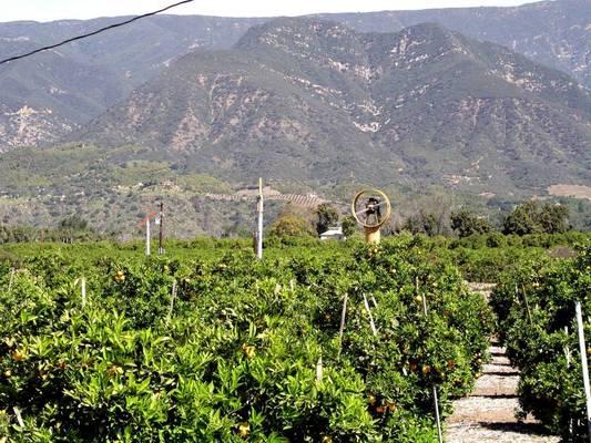 A mediterrán-vidék gyümölcse