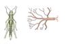 A rovarok légcsövei
