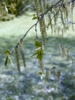 A nyírfa virágos hajtása