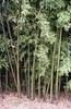 Bambusz rengeteg