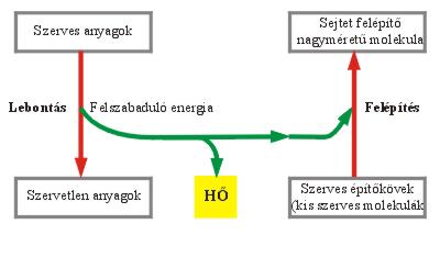 A lebontó és a felépítő folyamatok kapcsolata a sejtekben