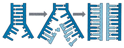 A DNS-molekula megkettőződése