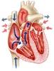 A szív szerkezete