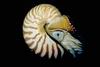 A mélytengerek fejlábúi a csigaházas polipok