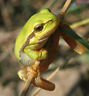 Zöld levelibéka