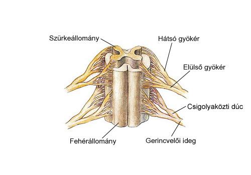 A gerincvelő felépítése