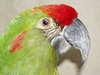 Papagájcsőr