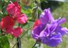 Pillangós virág