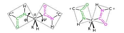 Az amidsíkok helyzete a polipeptidláncban