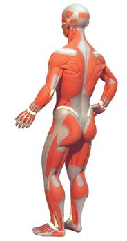 Az emberi test izmai