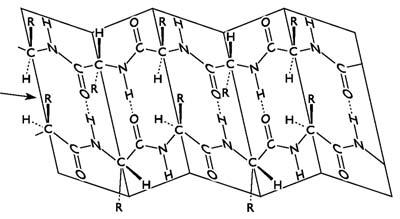 A β-redő a polipeptid láncban - hidrogénkötések a β-redő egy részletében