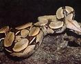 Közönséges óriáskígyó (Boa constrictor)