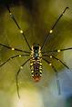 Nephila pók