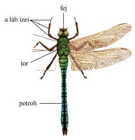Ízeltlábú állat (rovar) testének tagolódása