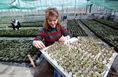Fertődi Gyümölcstermesztési Kutatóban szállításhoz csomagolják a növényeket