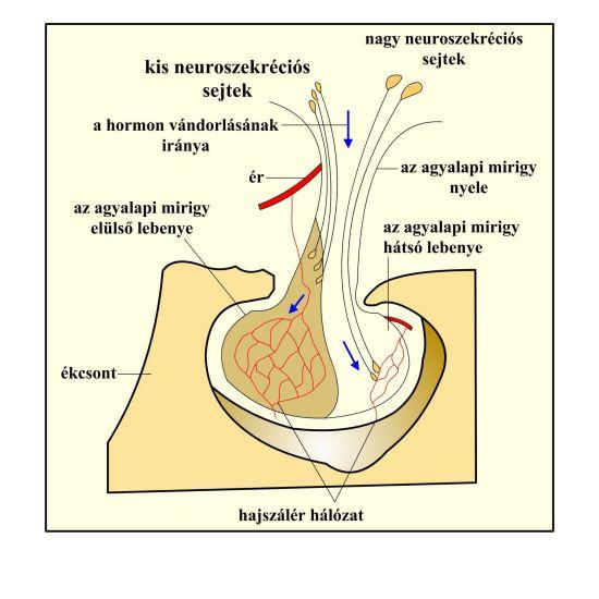 A hipotalamusz kapcsolata az agyalapi miriggyel